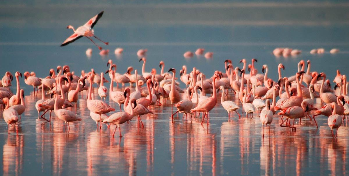 Flamingos in the Fuente de Piedra Lagoon